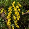 Cootamundra Wattle - Acacia baileyana