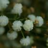 Winged Wattle - Acacia Alata var. biglandulosa