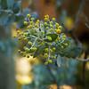Acacia Podalyriifolia - Queensland silver wattle, MIMOSACEAE family