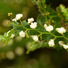Acacia Alata - Winged wattle,Mimosaceae family