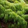 """Acacia Cognata, """"Green Mist"""", MIMOSACEAE family"""