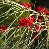 Eucalytus Parvula - Small Leaved gum