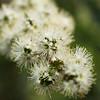 White Kunzea parvifolia