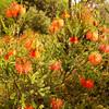 Beaufortia Sparsa, MYRTACEAE Family
