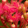 Bee sitting on Corymbia Summer Beauty