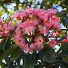 Corymbia Ptychocarpa, Swamp Bloodwood