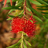 Mountain Bottlebrush, Callistemon Montanus
