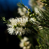 Melaleuca rhaphiophylla, needle leaved honey myrtle, MYRTACEAE Family,