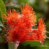 Dwarf Orange flower - Corymbia Ficifolia