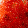 Dwarf Orange flower - Corymbia Ficifolia macro