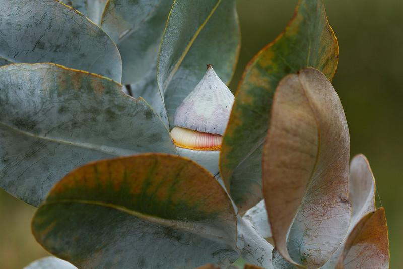 Eucalyptus macrocarpa, or Mottlecah