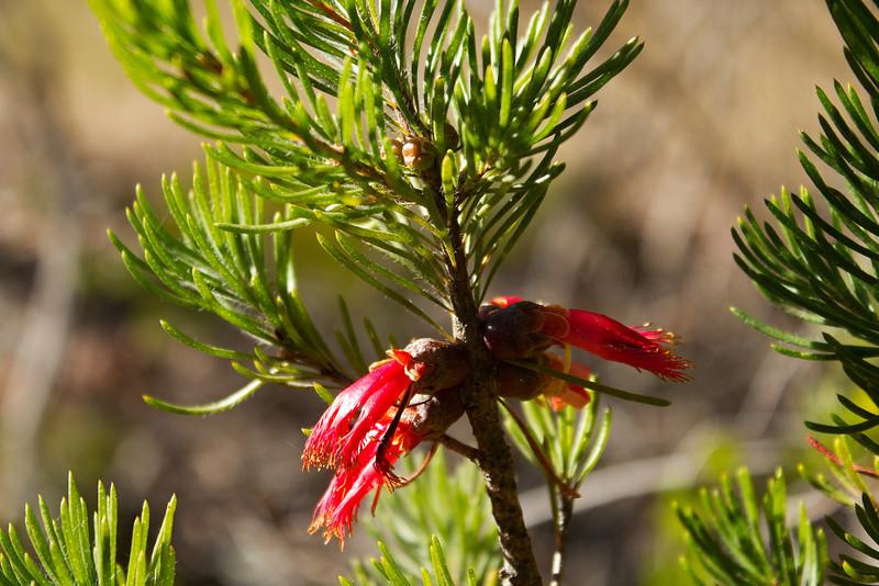 Calothamnus macrocarpus, Myrtaceae family