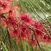 Eucalyptus Parvula, Myrtaceae Family
