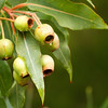 Corymbia Ficifolia - Wildfire gum nuts, MYRATACEAE Family