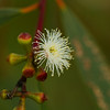 Eucalyptus Gregsoniana - Mallee Snow Gum