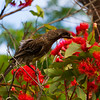 Red Wattlebird collecting nectar from a flower