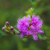 Melaleuca thymifolia - Thyme Honey myrtle -MYRTACEA Family