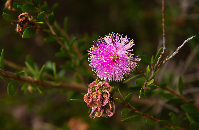 Melaleuca Nesophila, MYRTACEAE Family