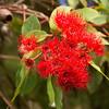 Corymbia Ficifolia, Wildfire, MYRATACEAE Family