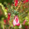 Darwinia Macrostegia - Mondurup Bell
