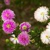 Melaleuca nesophila, Showy Honey Myrtle