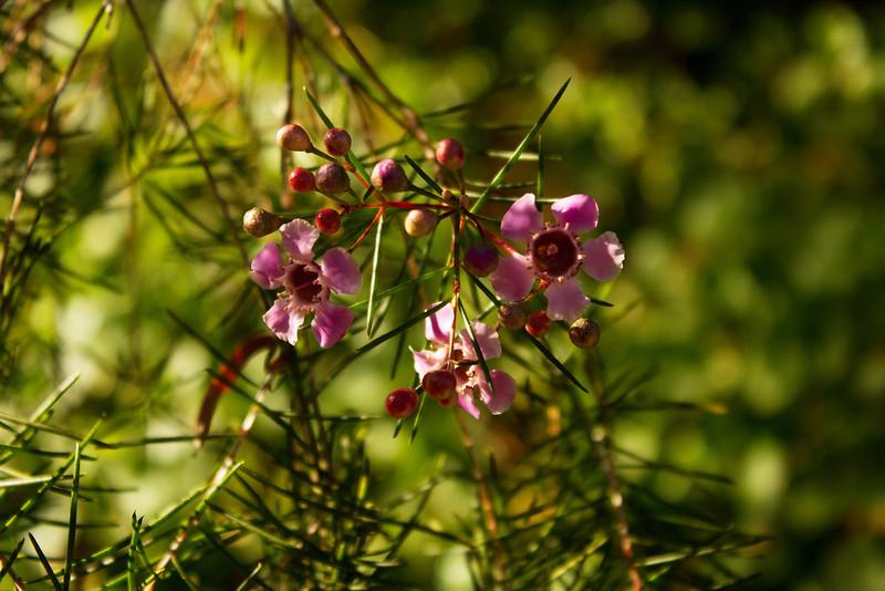 Chamelaucium - Cascade Jewel, MYRATACEAE family