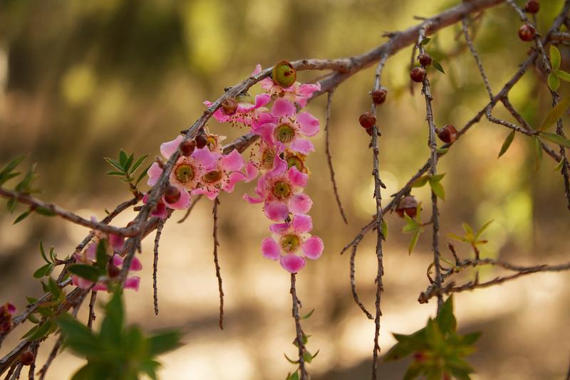 Leptospermum Squirrosum; Peach Blossom Teatree, MYRTACEAE Family