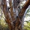 Eucalyptus nitens - Shining gum, MYRTACEAE Family