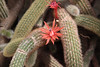 The Arid room with a large variety of cactus.  May 13, 2013.<br /> <br /> Cleistocactus bloom.