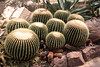 The Arid room with a large variety of cactus.  May 13, 2013.<br /> <br /> Golden Barrel cactus and smaller Red Spine cactus.