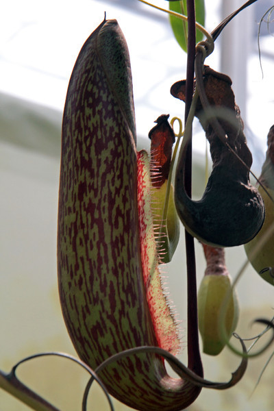 The carnivorous Pitcher Plants in the Victorian section.  May 13, 2013