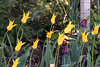 Frederik Meijer Children's Garden  May 13, 2013  Grand Rapid, MI<br /> <br /> Yellow West Point tulips along the entrance wall.