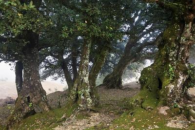 Island oaks