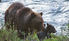 6-13 Sow and two cubs-
