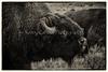 Yellowstone_Buffalo_9-27-8