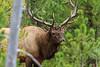 Elk_9-26-9