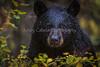 Black_Bear_Yellowstone