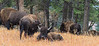 Yellowstone_Buffalo_9-25-6