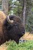 Yellowstone_Buffalo_9-25-3