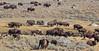Yellowstone_Buffalo_9-27-10