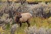 Elk_9-25