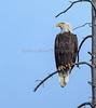 Bald_Eagle-2