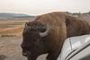 Yellowstone_Buffalo-11