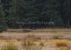 Yellowstone_Wolf-September_27,_20121N5A1395untitledSeptember_27,_2012