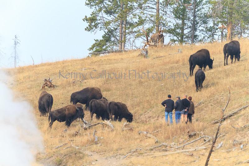 Yellowstone_Buffalo-15