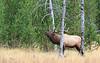 Elk_9-26-17