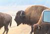 Yellowstone_Buffalo