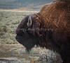 Yellowstone_Buffalo_9-27-6