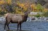 Elk_9-26-2