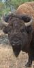 Yellowstone_Buffalo_9-25-4